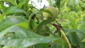 Peach. The peach was taken in a small Bulgarian farm stock video