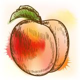 Peach, watercolor painting Stock Image