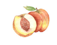 The peach watercolor  painting watercolor  Royalty Free Stock Photo