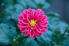 Solitary Dahlia in Full Bloom stock images
