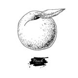 Peachartboard. Peach vector drawing. Isolated hand drawn object on white background.  Summer fruit engraved style illustration. Detailed vegetarian food. Great Stock Images