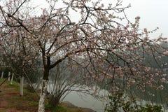 peachblossom在植物园里 免版税库存图片