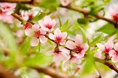 Peachblossom Stock Image