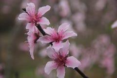 Peachblossom blommamars royaltyfri bild