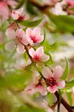 Peachblossom in de lente stock afbeeldingen