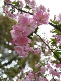 Peachblossom. Where is spring?Look!here it is Royalty Free Stock Photography