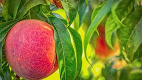 Peache biologic on the plant. Red peach on the plant in the summer royalty free stock photography