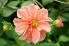 Peache blommor Arkivbilder