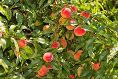 Peaches. Red peaches hang on a tree between green leafes Royalty Free Stock Photography
