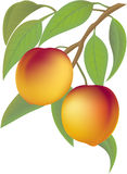 Peaches. Two juicy peaches on a branch with leaflets Stock Image