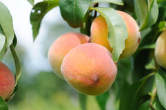Peaches. Fresh Peaches still on tree branch Stock Images