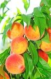 Peaches Royalty Free Stock Photo