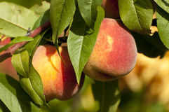 Peaches. Ripe peaches in late summer, close up Stock Images