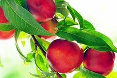 Free Peaches Royalty Free Stock Photo - 20237855