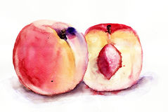 Peaches. Watercolor illustration of two Peaches Royalty Free Stock Image