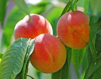 Peaches. Fresh red peaches on a tree Stock Photos