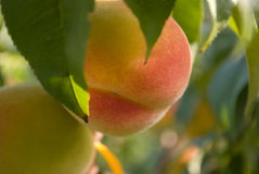 Free Peaches Stock Photo - 6513630