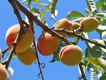 Peaches. On a branch Royalty Free Stock Photos