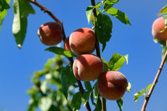 Peaches against a blue sky Royalty Free Stock Image