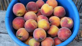 Peaches in band. Image was shot in bulgaria jambol stock video