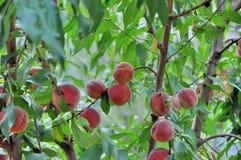 Peach fruits on the tree Royalty Free Stock Photo
