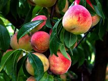 Peaches biologic on the plant. Photo made in a orchard bio stock images