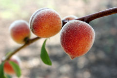 Peaches on a branch Stock Images