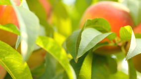 Peaches on branch with leaves stock footage