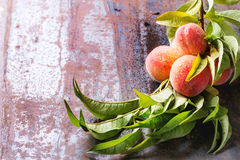 Peaches on branch Stock Image