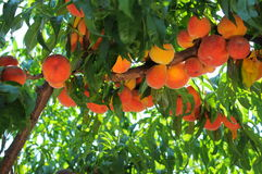 Peaches on the branch. Several dozens of peaches on a branch in the home garden. Natural and Eco Royalty Free Stock Image