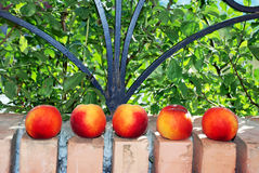 Peaches on brick fence Royalty Free Stock Photography