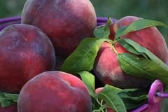 Peaches in a bucket Royalty Free Stock Photo