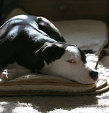 Peaches chilling. Black and white Pit Bull Terrier relaxing in natural light stock images