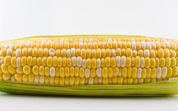 Peaches and Cream Corn. A fresh piece of corn on the cob partially husked Royalty Free Stock Photo