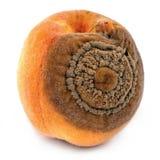 Peaches disease, monilia fructigena Royalty Free Stock Photo