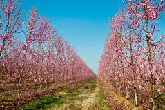 Peach trees in orchid Stock Photos