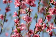 Peaches'flowers. Pink flowers on a tree with blue sky behind Stock Photo