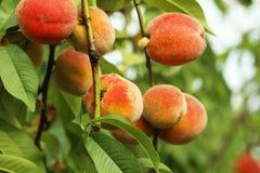 Peaches fruits Stock Image