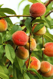 Peaches fruits Royalty Free Stock Image