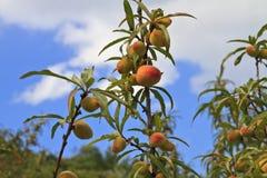 Peaches fruits Royalty Free Stock Photos