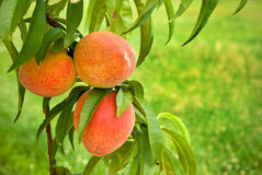 Peaches on Green, Grassy Background royalty free stock image