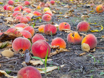 Peaches on the ground  Royalty Free Stock Image