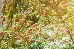 Peaches grow on tree Stock Images