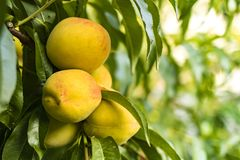 Peaches growing among green leaves. Mature peaches growing among green leaves Royalty Free Stock Images