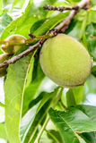 Peaches growing on the tree. Green peaches ripening on the tree Royalty Free Stock Image