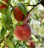 Peaches growing in a tree royalty free stock photography