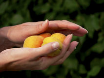 Peaches in the hands Royalty Free Stock Photos
