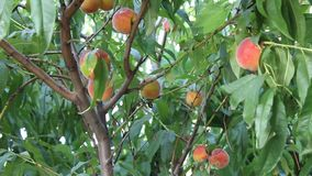 Peaches. Image was shot in bulgaria stock footage