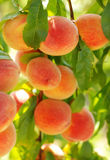 Peaches in the late summer Stock Photos
