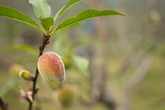 Peaches and leaves Royalty Free Stock Photography
